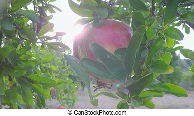 ripe pomegranate tree fruits at sunset