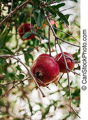 Ripe pomegranates hang on a branch. Pomegranate tree in the sun