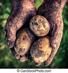 Ripe potatoes in hands