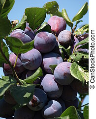 ripe prunes at a branch before harvest