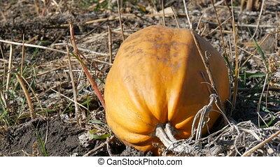 Ripe pumpkin on a field in autumn