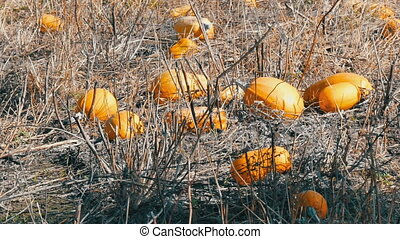 Ripe pumpkins on a field in autumn