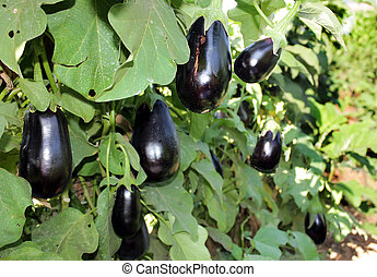 ripe purple eggplants growing on the bush - ripe purple ...