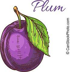 Ripe purple plum fruit with leaf sketch