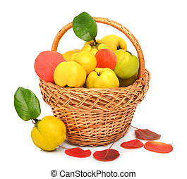 Ripe quince in the basket and autumn red leaves