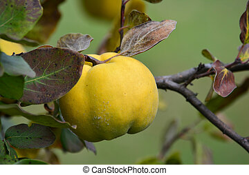Ripe quince on a twig, close up