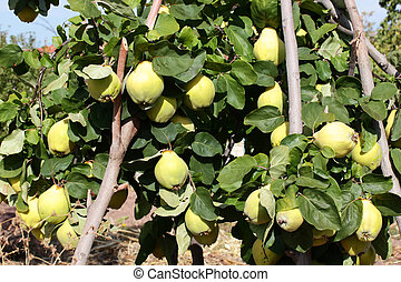 ripe quinces on the tree branch