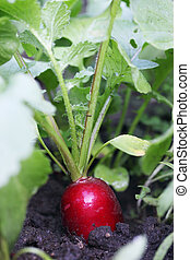 radish grows in soil