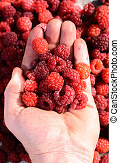 Ripe raspberries in the palm of your hand