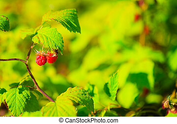 Ripe raspberries on a plant green background.