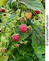 ripe raspberries on bush
