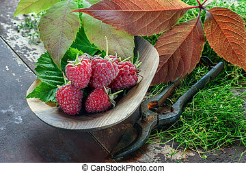 Ripe raspberries with autumn leaves on wooden plate close-up in a rustic style with a pair of scissors for cutting .