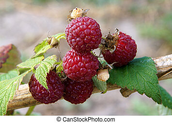 Ripe Raspberry in the Garden