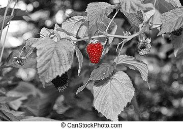 Ripe raspberry in the garden