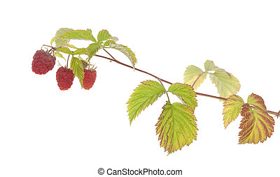 raspberry - ripe raspberry on branch on white background