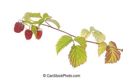 raspberry - ripe raspberry on branch on white background