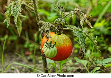 Ripe red and green tomato on a bush branch