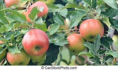 Ripe red apples grow on a tree