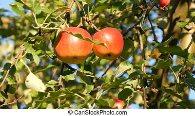Ripe red apples grow on the tree