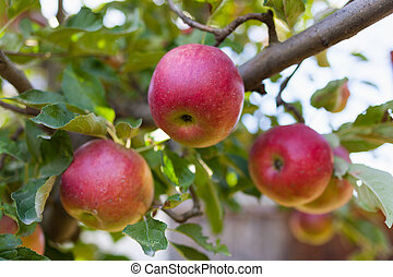 Ripe red apples in an orchard