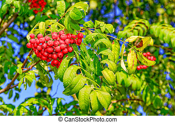 Ripe red berries of mountain ash on a green branch.