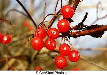 Ripe red berries of viburnum on a branch