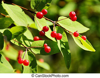 Ripe red berries of viburnum on a tree branch.