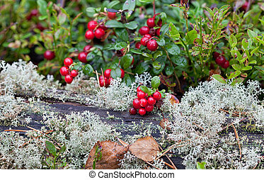 Ripe red cowberry