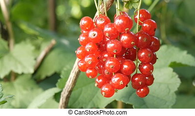 Ripe red currant berries hang on a bush in the garden
