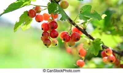 Ripe red currant berries in garden
