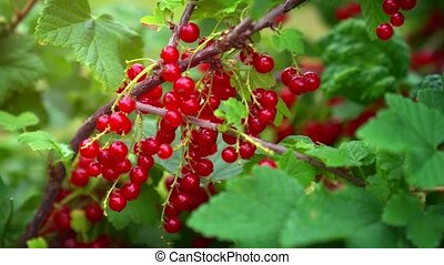 Ripe Red Currant Berries on a Bush - Bright red currant ...