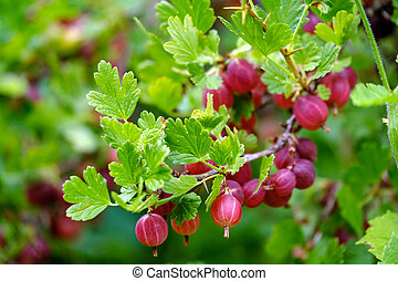 Ripe red gooseberries on a branch