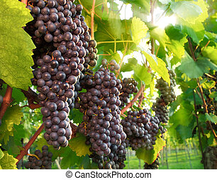 Ripe red grapes in a vineyard