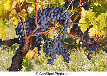 Ripe red grapes on ancient vine