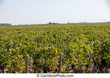 Ripe red grapes on rows of vines in a vienyard before the wine harvest in  Margaux appellation d'origine contr?l?e of the Bordeaux region of France