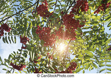 Ripe red mountain ash
