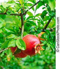 Ripe Red Pomegranate Fruit on Tree