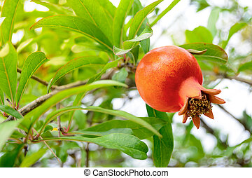 Ripe Red Pomegranate Fruit on Tree Branch