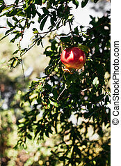 ripe red pomegranate on a tree branch in Turkey with place for text