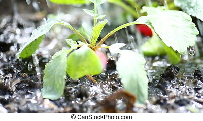 ripe red radish growing in the ground is watered - ripe red...