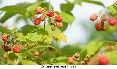 Ripe red raspberry on the garden
