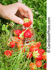Ripe red strawberries in female hand on background of grass