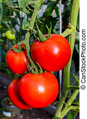 Ripe red tomato growing in vegetable garden