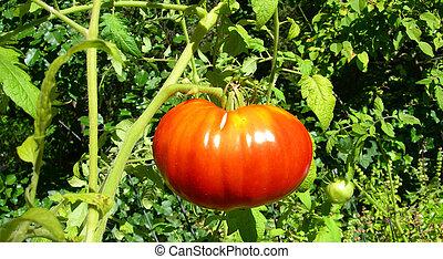 Ripe red tomato