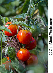 Ripe red tomatoes in the garden at summer
