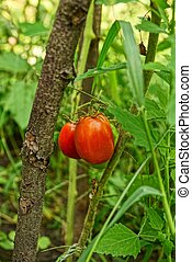 Ripe red tomatoes on a bush branch