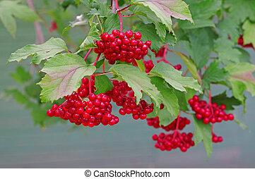 Ripe red viburnum on a bush