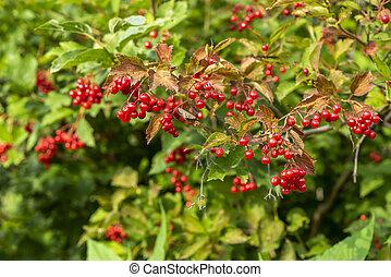 ripe red viburnum on branches