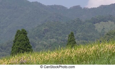 Lined ripe rice ears in front of green hill