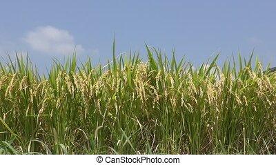 Ripe rice ears - Look up lined ripe rice ears under blue sky